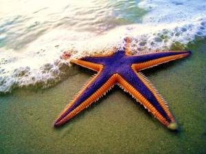 Royal Starfish on the Beach